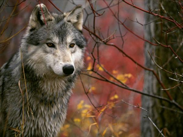 Discover wolves to Saint Lucie towards Marvejols