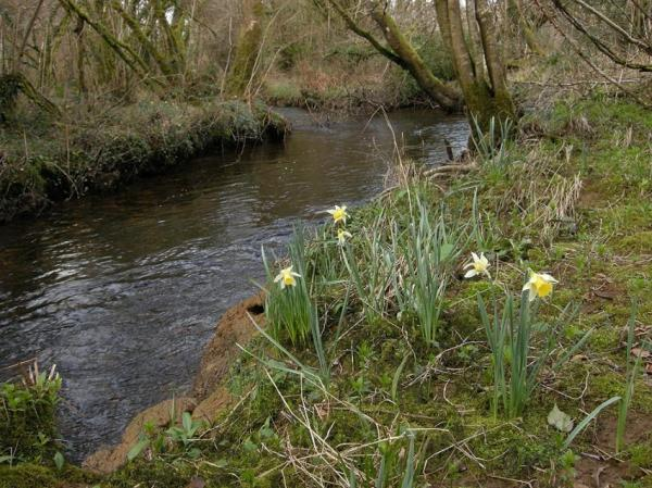 Wild daffodils near holliday cottage